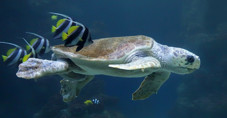 Loggerhead sea turtle with reef fishes