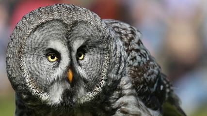 Portrait view of a Great Grey Owl - Strix nebulosa