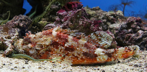 Close-up view of a Red Scorpionfish - Scorpaena scrofa