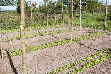 Beans Stakes and mesh for marrowfats in the vegetable garden.