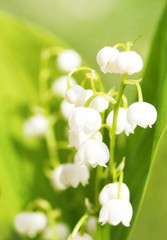 Maiglöckchen, Lily of the Valley