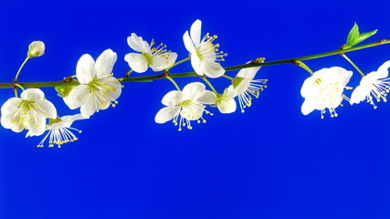 Timelapse cherry branch with opening flowers on blue background.