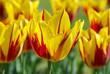 Tulip details