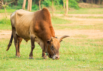 Cow in a grassy meadow