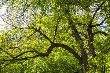 Green oak-tree in the morning sun