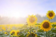 L'heure d'été: Trois tournesols à l'aube avec backgroung naturelle