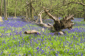 Bluebells flowers in spring forest