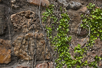 Ivy on rough stone wall textured background