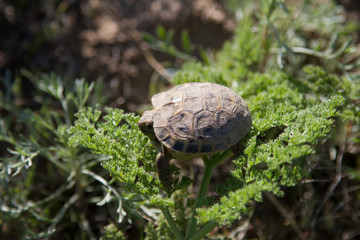 turtle in steppe