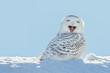 Leinwanddruck Bild - Snowy Owl - Yawning / Smiling in Snow