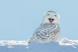 Snowy Owl - Yawning / Smiling in Snow
