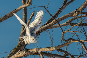 Snowy Owl - Flying Out of Tree