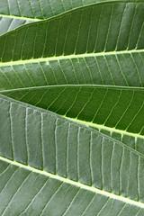 frangipani leave