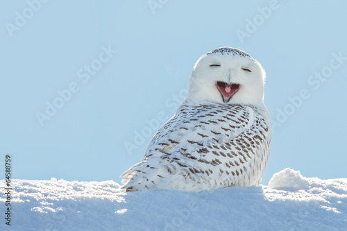 Deurstickers Vogel Snowy Owl - Yawning / Smiling in Snow