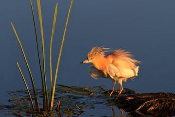Squacco Heron (Ardeola ralloides)