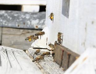 arı,polen