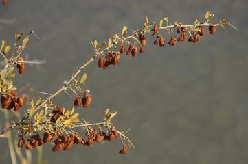 Halimodendron