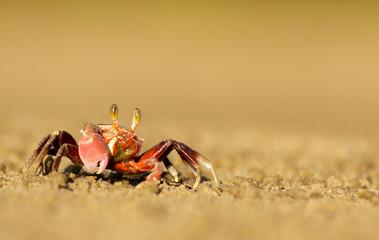 Fiddler Crab in Malaysia, Borneo