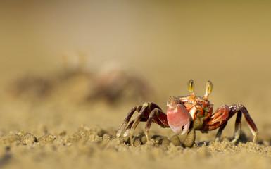 Fiddler Crabs in Malaysia, Borneo