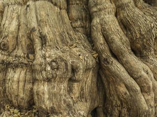 Corteza de árbol. Patagua.