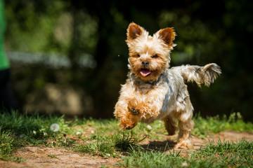 Yorkshire Terrier in Bewegung