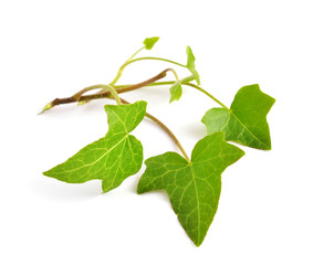 Hedera isolated
