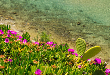 Coast of Aegean sea with blooming ice plants in Chalkidiki, Gree