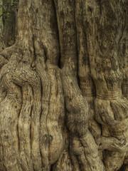 Textura de corteza de árbol. Patagua