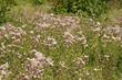 Disteln - Cirsium vulgare