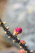 Fiore femminile di Larice alpino - Larix decidua
