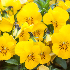 Yellow color pansies