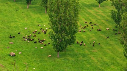 Sheep feeding grass fresh green field with some trees