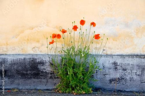 Deurstickers Poppy Mohnblüten vor Hauswand