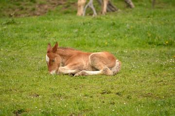 joven potro tumbado en un campo de hierba verde