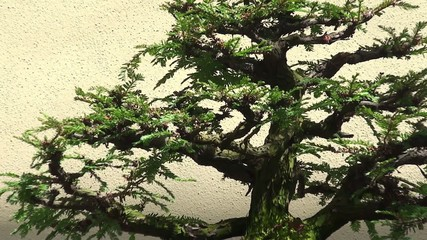 "Sequoia sempervirens ""Informal Upright"" bonsai"