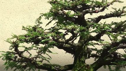 "Sequoia sempervirens ""Informal Upright"" bonsai"
