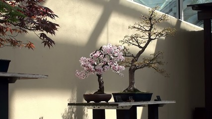 "Blooming Prunus subhirtella (cherry) ""Informal Upright"" bonsai"
