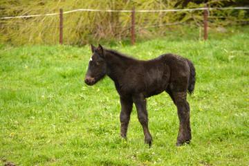 cria de caballo de pelo negro en campo de hierba verde