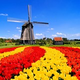 Vibrant tulips with windmill, Netherlands
