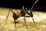 Macro of a tropical giant ant (Camponotus gigas) poster
