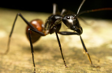 Macro of a tropical giant ant (Camponotus gigas)