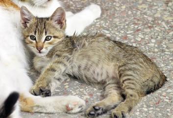 Homeless kitten lying beside his mother cat