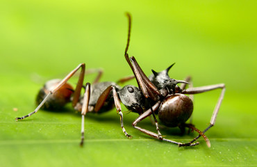 Macro of tropical ants (polyrhachis sp) after a fight