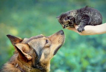 Big dog and little kitten in female hands sniffing each other ou