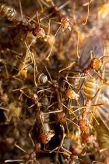 Macro of tropical red fire ants catching a prey, Borneo