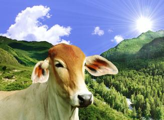Boi Pastando nas Montanhas