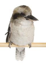 Kookaburras (genus Dacelo) 10 years old on white background.