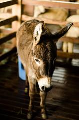 little mule lovely