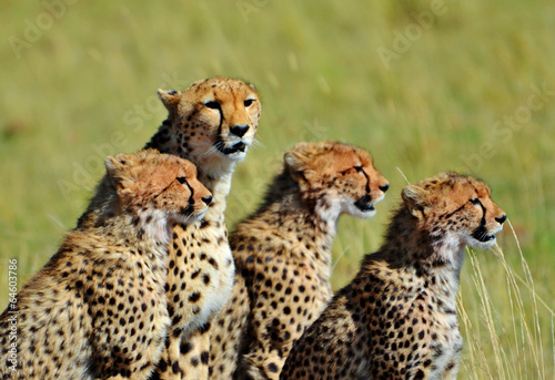 Fotobehang Luipaard Cheetahs in Kenya