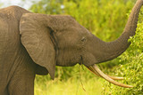 African Elephant with large tusks poster